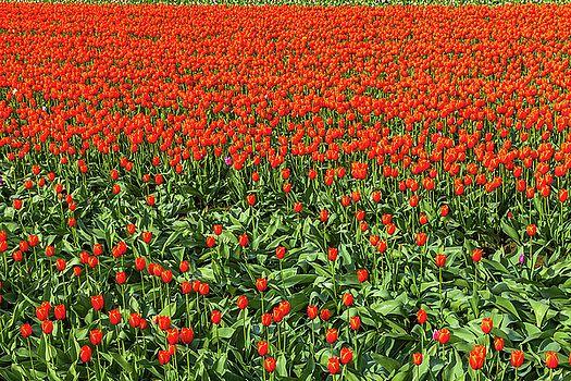 Art Calapatia - Orange Tulips 8