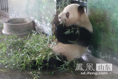 临沂:我和熊猫一起过中秋节_山东频道_凤凰网