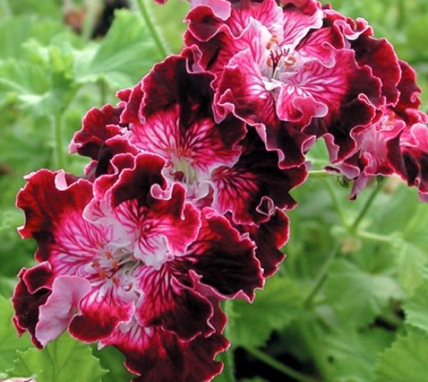 Martha Washington Geraniums Care: 97 Best Images About Regal Pelargoniums On Pinterest