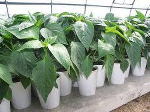 Выращивание Рассады Перца посев, грунт, удобрения, температура проращивания