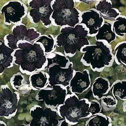 Nemophila~Penny Black~Easy Annual~30 Seeds