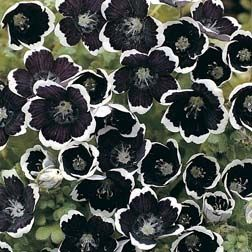 "Pennie Black Baby Blue Eyes - Here is an annual that's ""as pretty as a picture"". There is an incessant parade of rich deep purple to black flowers with a a scalloped silvery-white edge."