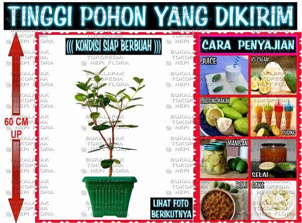UNTUK MEMBELI LANGSUNG KLIK LINK DIBAWAH  https://www.bukalapak.com/p/hobi-koleksi/berkebun/bibit-tanaman/3cq5zv-jual-pohon-buah-import-sg001  AMAN 100% KARENA BISA BAYAR DI INDOMARET SIMPAN BUKTI PEMBAYARAN TERSEBUT SEBAGAI TANDA BUKTI
