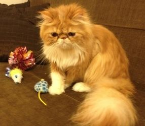 8 month old persian cat