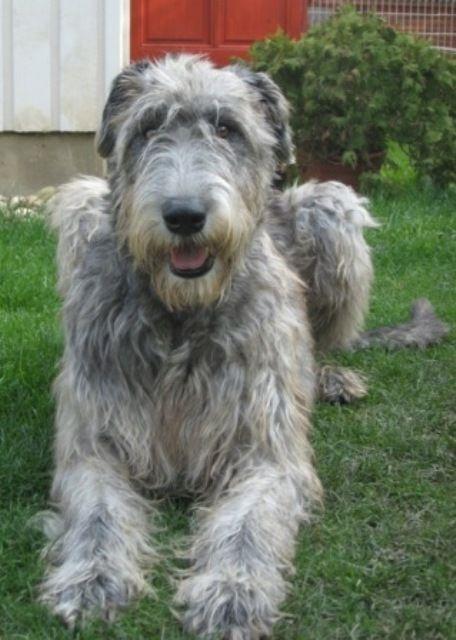 Irish Wolfhound Do They Shed 187 best Luv Irish Wol...