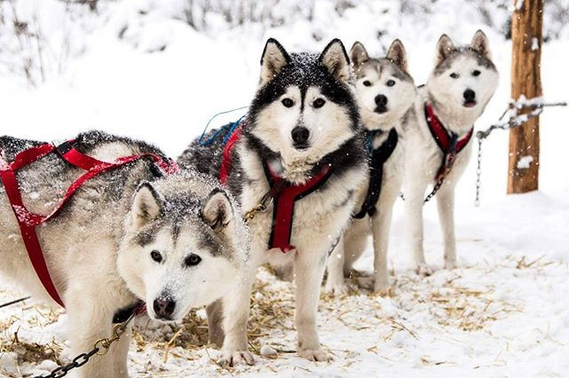 You Can Actually Go Dog Sledding With Huskies In Bc And It S Epic