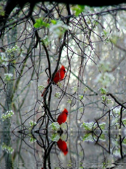 Cardinals.   ••••(KO) Such a beautiful shade of red!  Glorious creatures!
