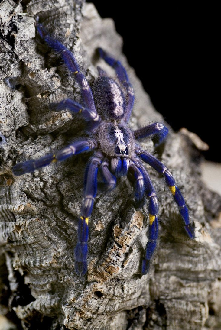 "Poecilotheria metallica. A beautiful spider native to India and Sri Lanka. Commonly known as a ""Gooty Sapphire Tarantula"" for its colour and the town in which it was first discovered. Grows to 14 - 20cm (6-8"") it has a ""medically significant bite""."