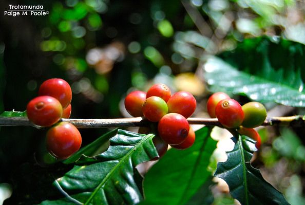 Coffee in Minca, Colombia