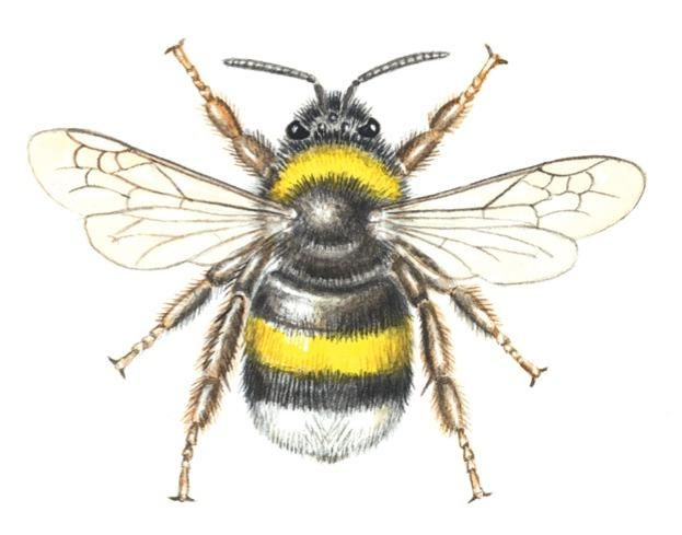 How to identify spring bees