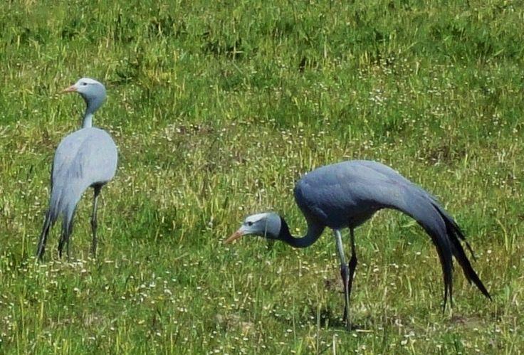 Blue crane at Fynbos Estate