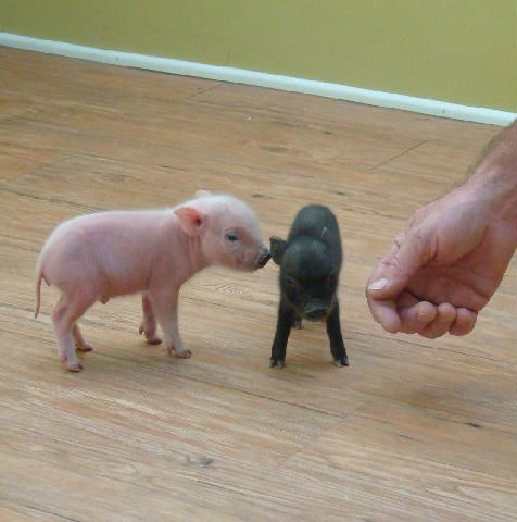 Tiny Teacup Pigs, pixie pigs, and micro mini pigs as seen on The Tonight Show, The Disney Channel, Last Man Standing and Nat Geo  OMG!!  would love one or two of theses!