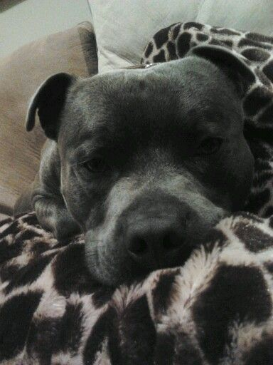 Storm. Totally pampered blue staffy. English staffordshire bull terrier.