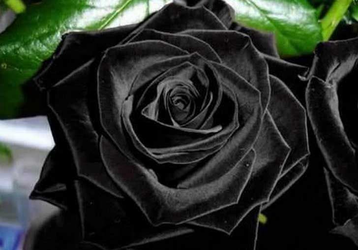 J'adore!!! Rose Noir! <3