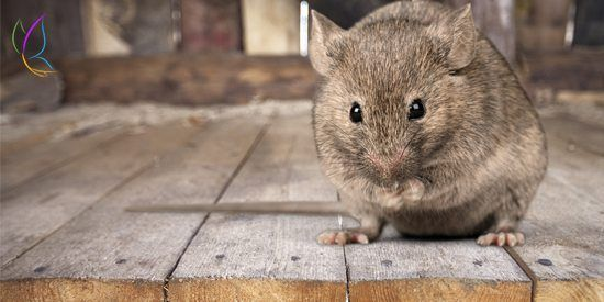 Fact of The Day – A New Species of Rat Has Been Discovered - #FoTD #FactofTheDay #InterestingFacts #RandomFacts #Rats #Rodents #Animals #Discovery #Blog #Blogger #Blogging