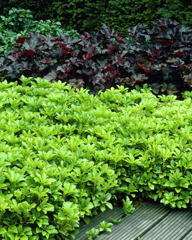 wonderful pachysandra terminalis with black plants for home landscaping ideas