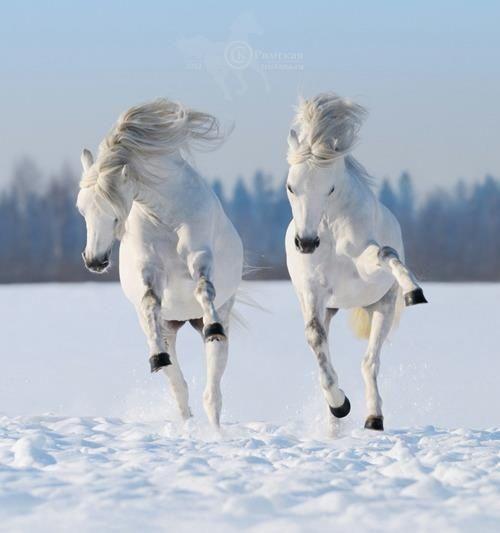 horses, white horses, snow horses