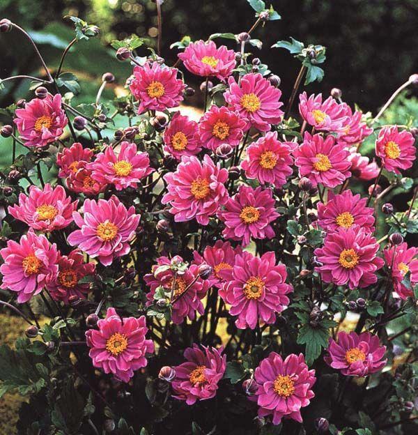 Anemone japonica Pamina 60-80СМ     -29 Цветки полумахровые.