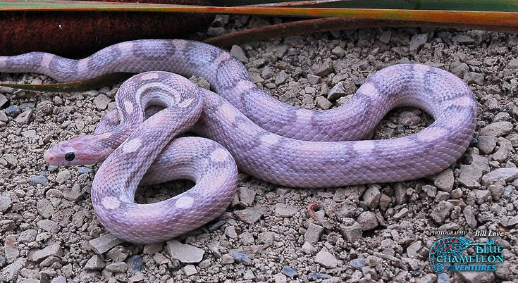 lavender corn snake. i hate snakes, but this is neat!!