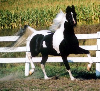 Horse Breeds Pictures and Information
