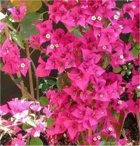 Buganvilla bougainvillea glabra planta trepadora le osa - Plantas de hojas verdes ...