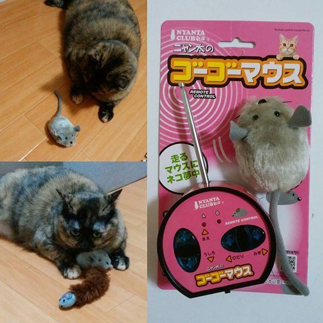 今日はわらの5歳の誕生日!! ハッピーバースデーわら💕 誕生日プレゼントはリモコンで走るネズミのおもちゃ モーターの音が怖い様子もあったけど遊んでくれた😁 ただ、リモコンで動かしてることがバレている、、リモコンのボタンのかちかち音が大きいからかしら💦 動かなくなると リモコン見る😱  #ねこ#ねこ部 #ねこすたぐらむ #猫 #猫好き#猫かわいがり #にゃんこ #にゃんすたぐらむ #nyanstagram  #catstagram #cat#catsofinstagram  #愛猫 #誕生日 #マウス #おもちゃ  #猫のおもちゃ#猫のいる生活 #猫のいる暮らし #にゃんとかめら #にゃんだふるらいふ #ニャン  #ペットは家族 #サビ猫 #女の子