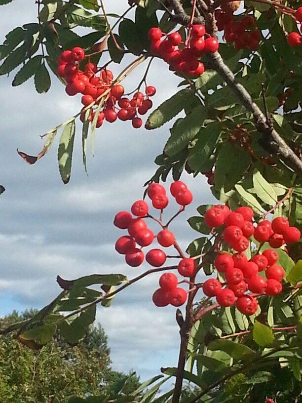 Rönnbär (swedish)