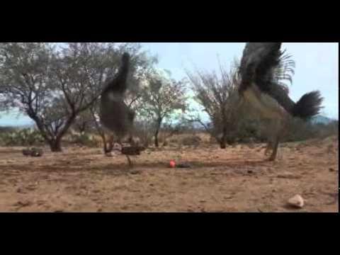 Ostrich Emu Cat Toy