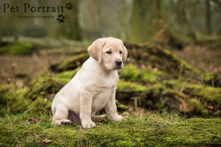Hondenfotograaf Leiden - Labrador retriever pup Freyja-5