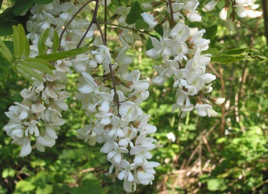 """Robinia pseudoacacia, also called """"False Acacia"""" or """"Black Locust,"""" looks like a pretty uninteresting tree until the sprays of white flowers appear.  They fill the entire street with the scent of sweet peas for a good week or two."""