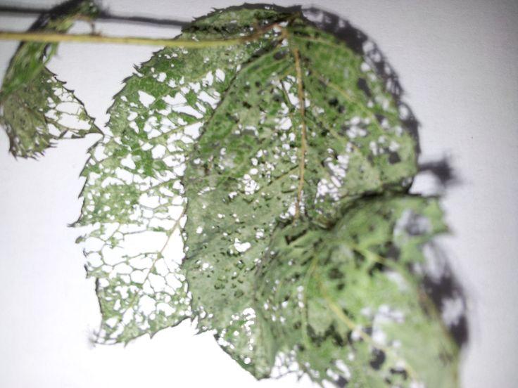 Horrific damage - all my beautiful roses are gone. Some horrible bug infestation,