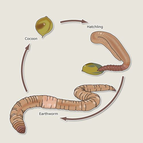 Earthworm Life Cycle | Earthworm life cycle – Earthworms – Te Ara Encyclopedia of New ...