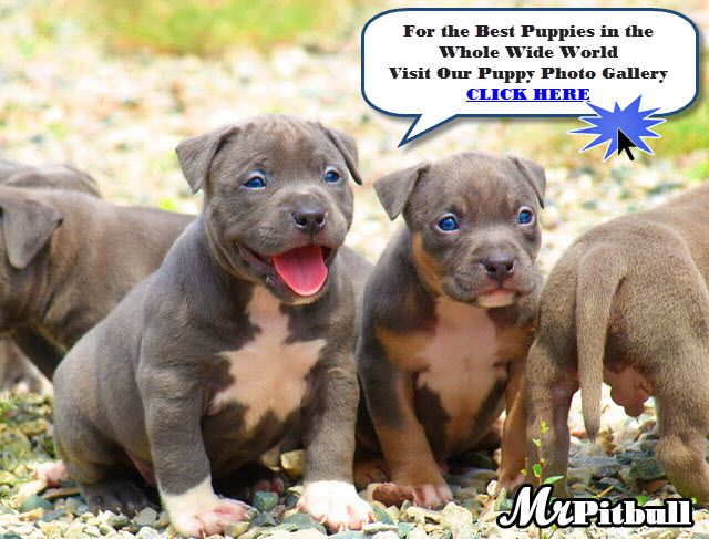 training pitbull puppies