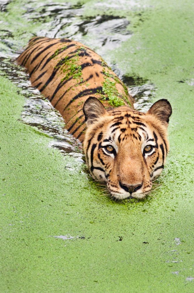 Tigers love water and are excellent swimmers. Here, in the Sundarbans National Park in India, tigers live in mangrove swamps and forests, sharing their habitat with saltwater crocodiles. (Neelsky/ Shutterstock)