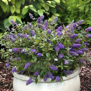 Buddleia Lo and Behold Blue Chip   Butterfly Bush. Buddleja Blue Chip the first true dwarf. An attractive, free-flowering miniature bush, this stunning new variety,with its many flowers, sweet honey scent and easy maintenance. 'Blue Chip' has stunning, short spikes of lavender-blue flowers throughout the summer,  Compact enough to plant in a pot on the terrace or patio. Repeat flowering. If you love butterflies, low maintenance and a beautiful scent, then this is the plant for you.
