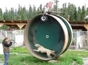 Una rueda gigante para el ejercicio canino