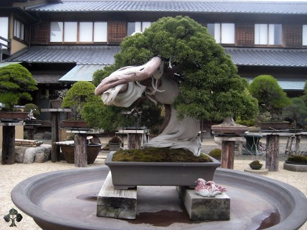 A remarkable tree which is well known for its extremely high age; the tree is reported to be over 800 years old! Its owner, master Kobayashi, is one of the most well known Bonsai artists in the world and has won the prestigious Prime Minister award in Japan 4 times. His nursery, ShunkaEn, is located in Tokyo and is open to visitors. For more information, click here!