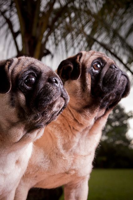 Pugs by rafael_lobo, via Flickr