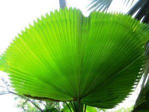 Ruflled Fam Palm Tree Leaf- Licuala Grandis Buy Palm Trees and Plants - Buy Plants Online at RealPalmTrees.com RealBonsaiTrees.com or RealOrnamentals.com #PalmTreeGifts #DIY2015 #BonsaiTrees #MiamiBonsai #big #2015PlantIdeas #Summer2015Plants #Ideas #BeautifulPlant #DIYPlants #OutdoorLiving #decoratingareasideas