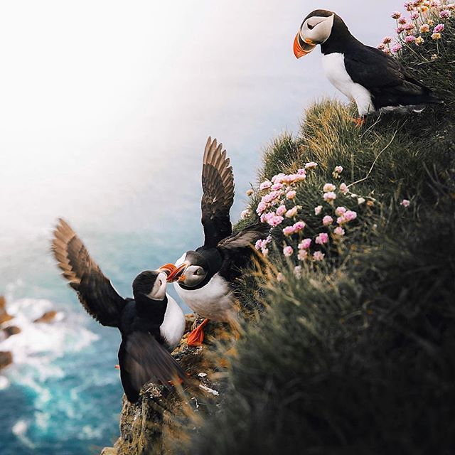 Follow @globefever for more. Puffins fighting in Western Region (Iceland). Photo by @antoinetruchet