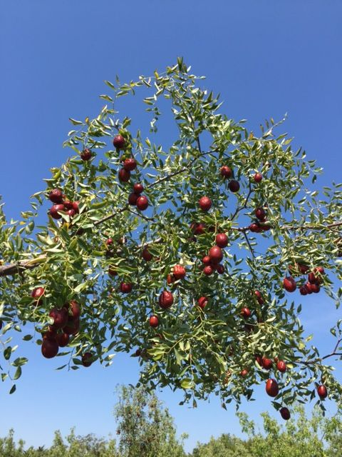 A Jujube tree loaded with sweet tasting fruit.  A fall treat and very easy to grow.  The perfect drought tolerant fruit tree!