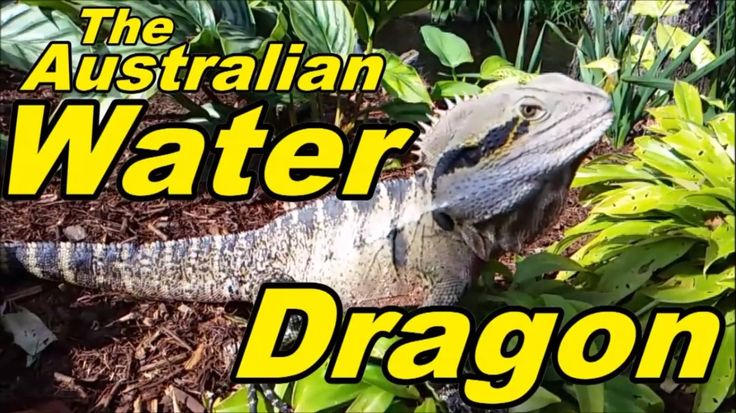 The Australian Water Dragon Roma Street Parklands