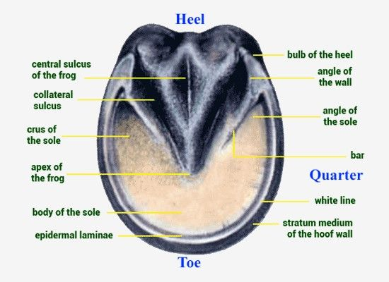 Anatomy of the Normal Hoof – Life Data Labs, Inc.,http://www.lifedatalabs.com/articles/hoof-anatomy
