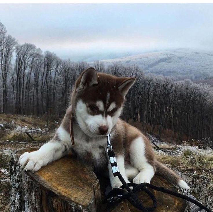 Siberian Husky Name Freya Kayas And Annas Dog Cutepuppyhuskynames