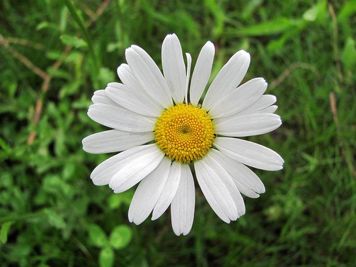 Kopretina bílá (Leucanthemum vulgare Lam., 1778) je vytrvalá, nezdolná, 20 cm až 80 cm vysoká bylina z čeledi hvězdnicovitých (Asteraceae).
