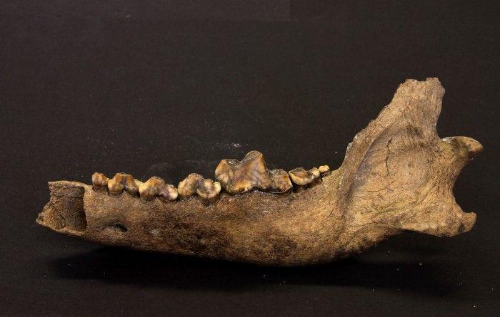 Förhistoriskt DNA avslöjar hundens ursprung -  Människans bästa vän, hunden, kan ha funnits långt längre än vi trott. En ny studie visar att hundens föregångare skiljdes från vargen redan någon gång mellan 27 000 och 40 000 år sedan. Analyser av arvsmassan från en förhistorisk varg från Tajmyrhalvön i Ryssland visar att den var närbesläktad med den gemensamma föregångaren till dagens vargar och hundar.  Skelettdel från hund. Foto: Love Dalén, cc-by-sa.