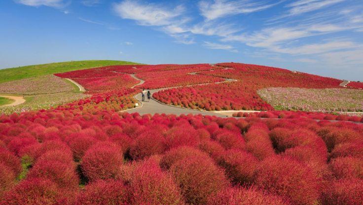 Το Hitachi Seaside Park στην Ιαπωνία είναι μία λωρίδα γης γεμάτη λόφους που πολύ εύκολα θα μπορούσε να είναι ένα ιδιότροπο τοπίο του Dr. Seuss.Το πάρκο είναι κατάμεστο με τα  φυτά kochia τα οποία κατά τη διάρκεια του φθινοπώρου γίνονται κόκκινα.