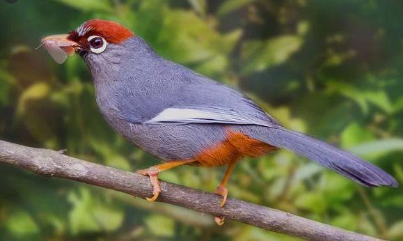 Harga Burung Poksay Di 2020 Burung Hewan