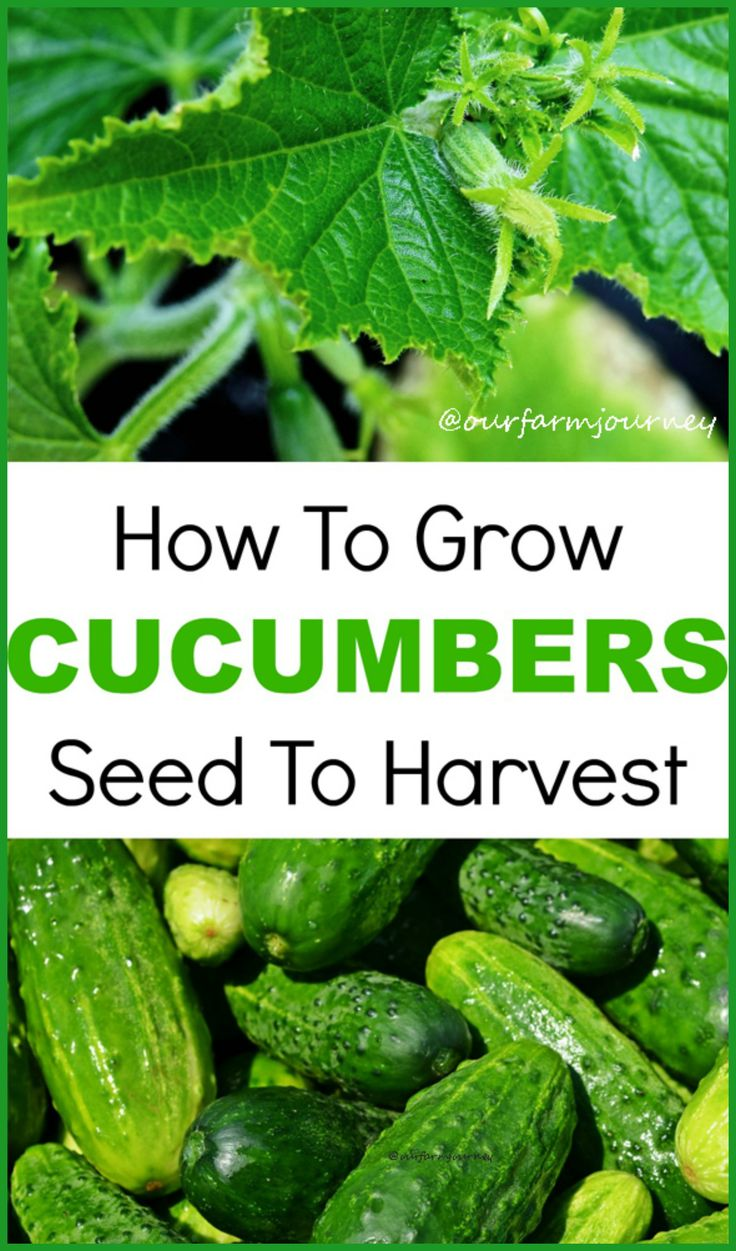 15 Best Images About Gardening Cucumbers On Pinterest 400 x 300