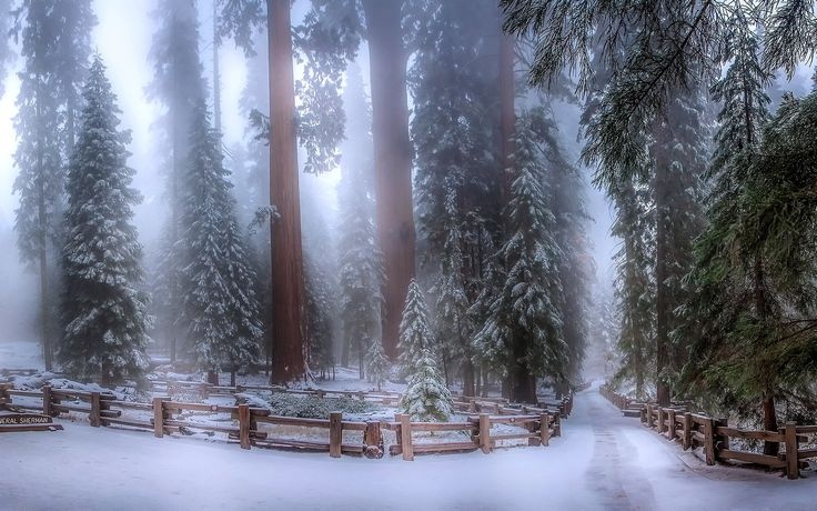 Sequoia forest in winter
